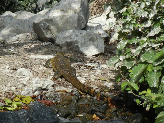 A monitor lizard scrambles into hiding but I was just able to catch his picture.