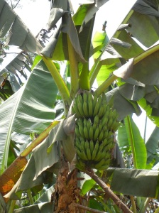Banana Tree by the side of the road
