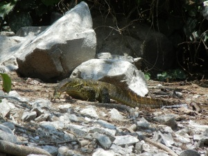 A Monitor Lizard at the Source of the Nile