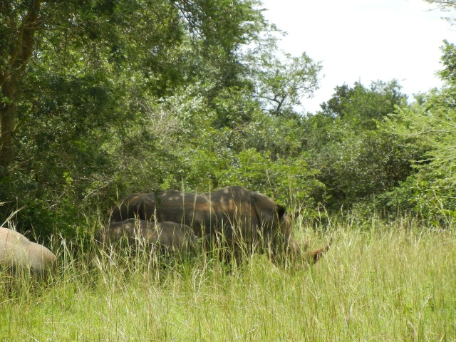 Rhino Trio- Mom and Baby (6 months old) with Dad off to the side