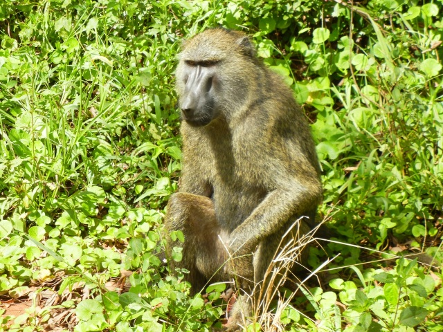 Baboons welcome us as we drive into Murchison Falls Park