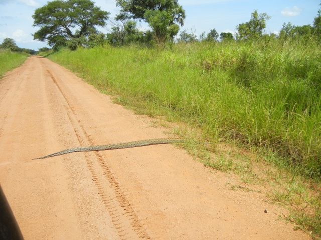 As we drove through the beginning of the park we saw a python crawling across the road- my first snake siting ever in all of my trips to Uganda