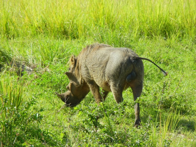 Warthogs are a very common site all over the park.