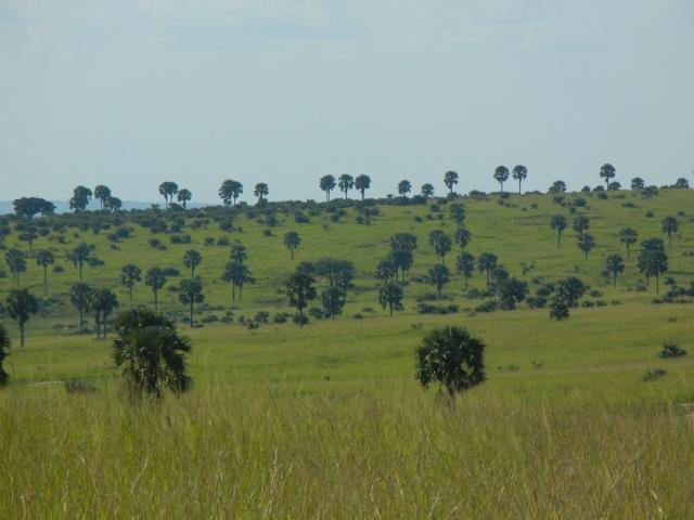 Borassus Palms dot the landscape.