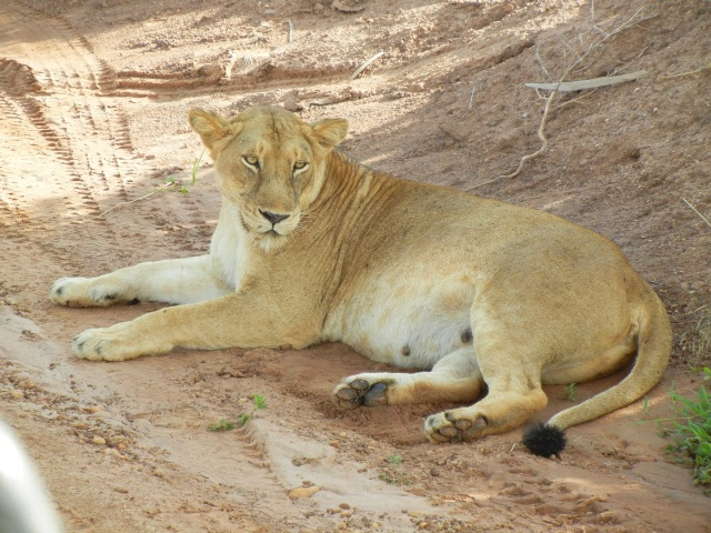 We came upon this Lioness sitting right by the side of the road in the shade of a bush. Her recent kill was behind the bush. I took this picture from the car window, which was completely open. See how close I am by the bottom left hand corner where you see the window frame edge.