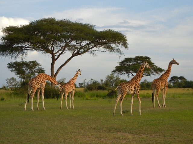 Giraffes with an Acacia Tree in the background