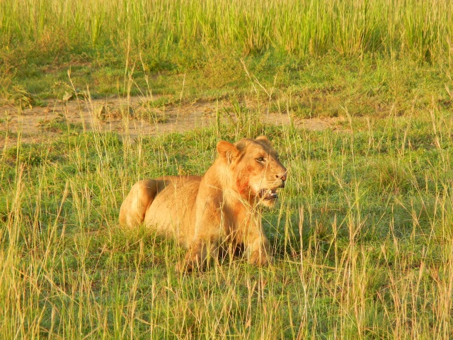 A young Male Lion with the start of a mane looks on while the hyenas and jackals destroy what is left of his kill (or his lioness's kill)