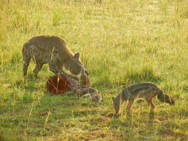 A Hyena scavanges the kill of a lion while Jackal looks on