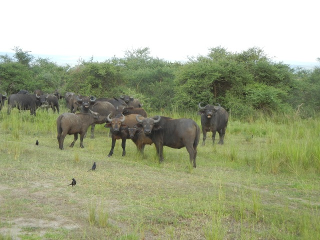 A small herd of Cape Buffalo- They always seem to be looking right at us but the Ranger Guide said their sense of smell is what makes them look in our direction but their eyesight is very poor
