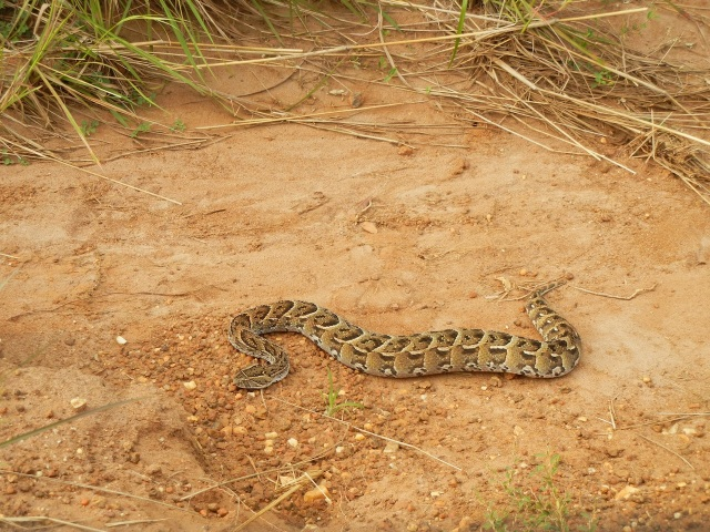 The Puff Adder Snake that had been attacked by a Cobra
