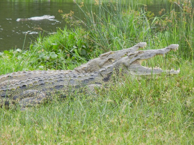 A pair of Crocodiles warming themselves in the sun