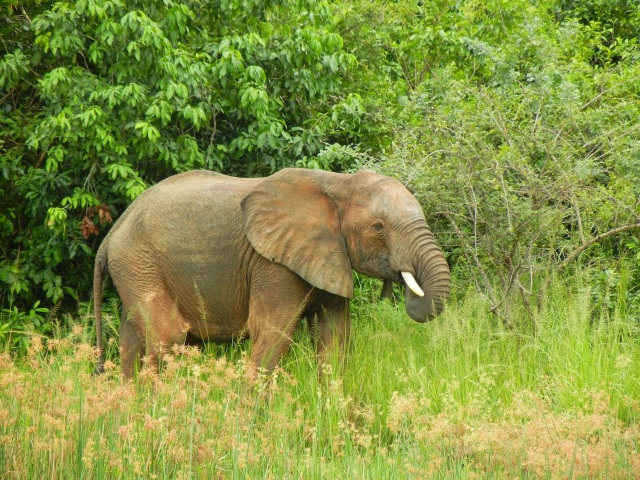 Elephant grazing by the side of and drinking from the Victoria Nile River