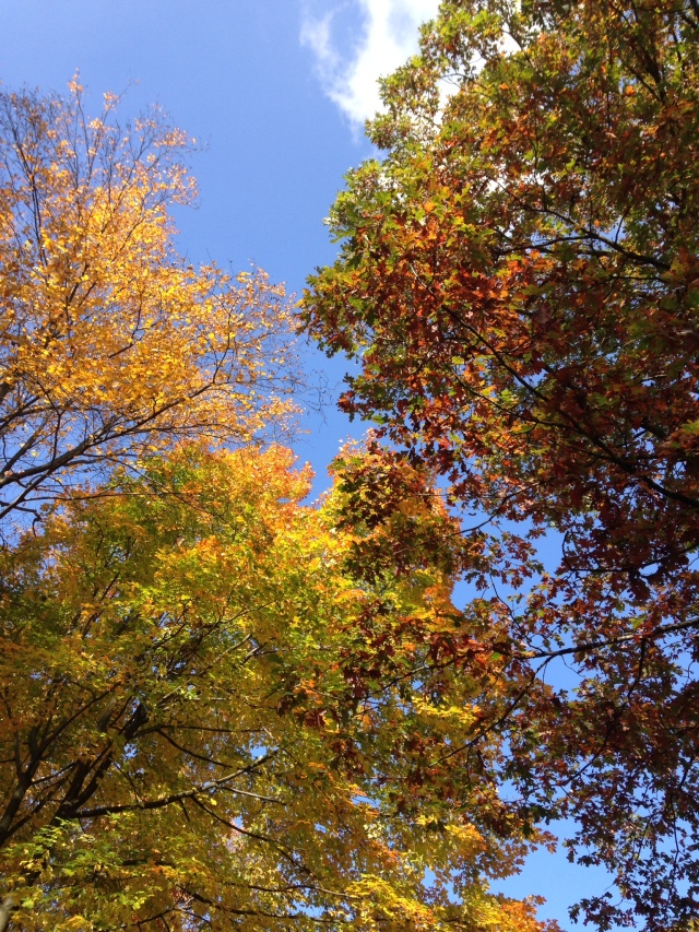 A beautiful fall day: blue sky and leaves changing colors at French Creek State Park in Pennsylvania