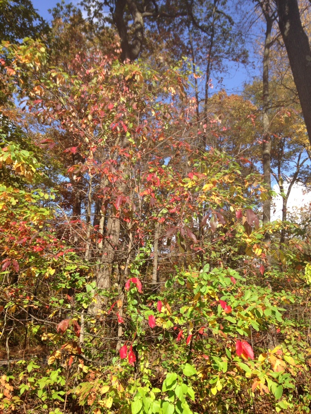 Leaves in various stages of green turning to yellow, orange and reds.