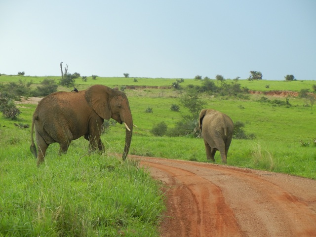 Elephants just crossed the road right in front of us!