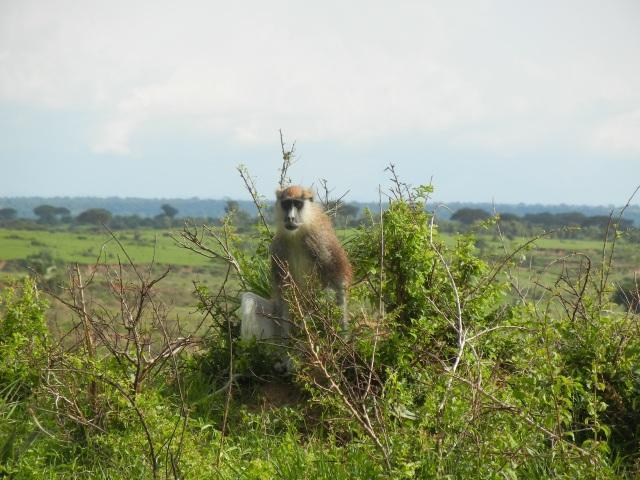 A Patus Monkey