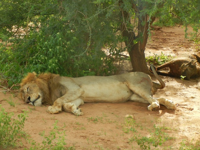 Nap-time after the exercise of the kill (warthog in the background) and a delicious meal.