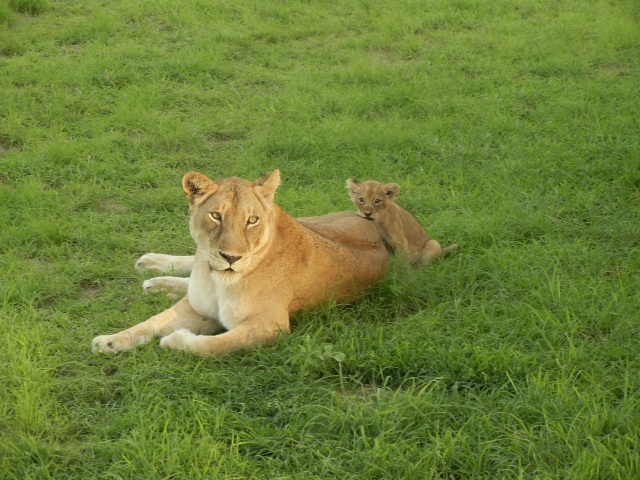 We sat in the vehicle only 10 ft  away from this Mama and her cub for probably 30-45min.  She was loving and playful with the cub and didn't seem to mind that we were watching