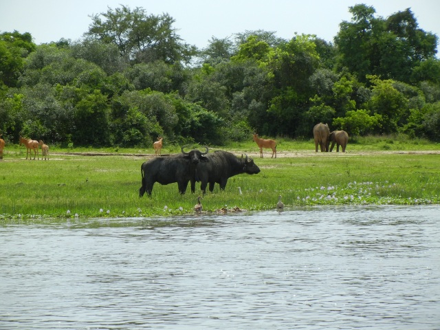 Many animals came to the riverside for water- I just love to capture photos showing multiple animals species- here we have elephants, cape buffalo, jackson hardebeest