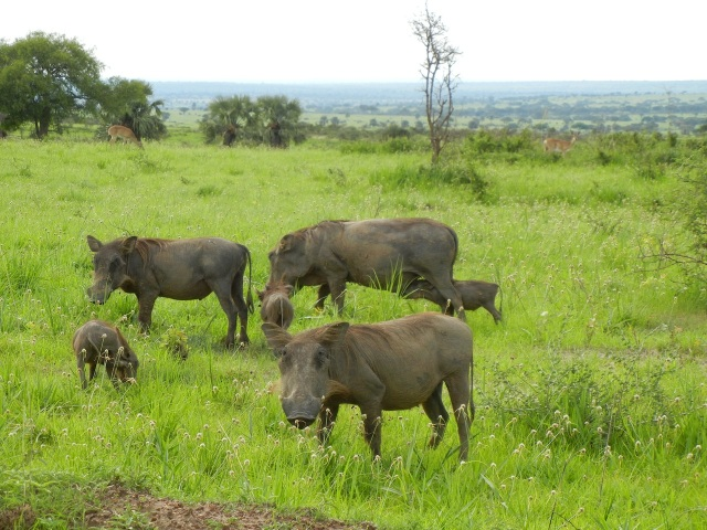 "A warthog family- notice the nursing baby in the background- although we think of ""Pumba"" as the name of the warthog in Disney's Lion King movie, the locals call the warthog- Pumba. I think it is the Swahili name for the animal."