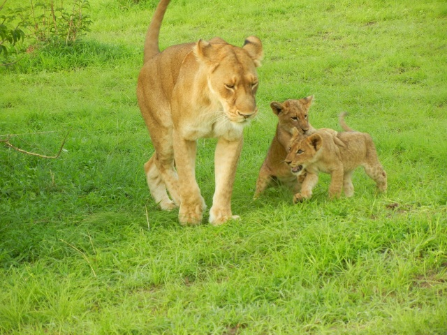 This Mama had 2 cubs and boy were they playful.
