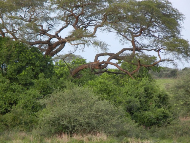 This leopard shot is from my camera-and you can definitely make out the leopard in the distance on the tree branch