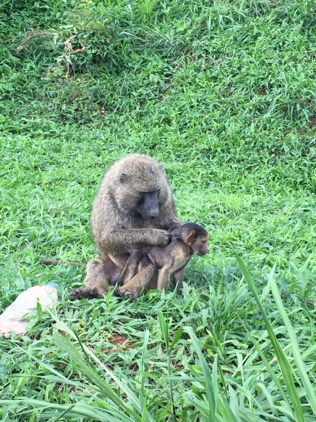 This Mama Baboon and her baby were so funny. We stopped to watch them on our way home for about 10min. Eventually, though the dad came by and seemed like he was fed up and was going to jump in the window so we quickly closed it and then moved on.