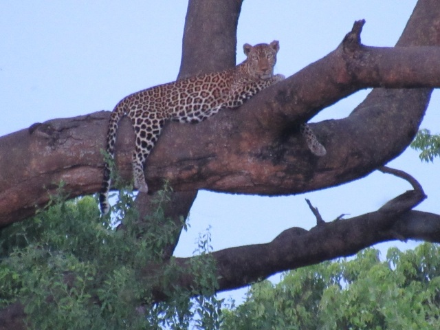 This amazing picture is from Hanna's camera- there is no doubt we saw this leopard.  He just watched us intently as we gazed at him for about 20 min.