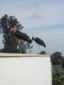 Marabou Storks on the roof of the Pharmacy School