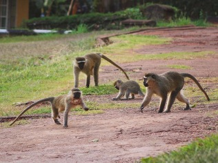 Monkey play on the lawn at the Mulago Guest House